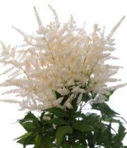Astilbe-white
