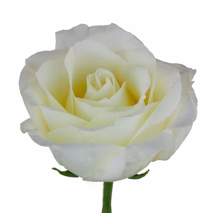 White Chocolate Rose