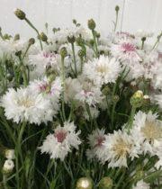 Cornflower-white