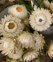 Strawflower-white/cream