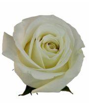 Rose, White Dove-SA
