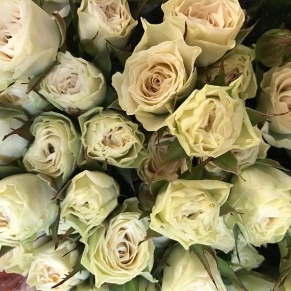 White Hurricane Spray Rose