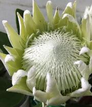 Protea, King-white
