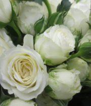Rose Garden Spray, White Lace-CA