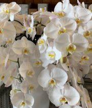 Phalaenopsis Spray-white