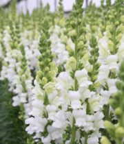 Snapdragons-white