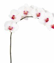 Phalaenopsis Spray-white/fuchsia