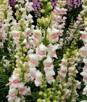 Snapdragons-white/pink