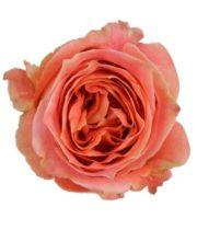 Rose, Wild Spirit-SA