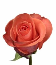 Rose, Wow-SA