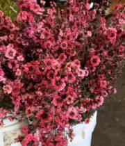Lepto, Flowering-hot Pink