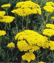 Yarrow, Tall-yellow
