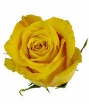 Rose, Yellow Bikini-SA