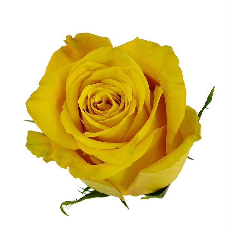 Yellow Bikini Rose