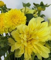 Dahlias, Field-yellow