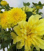 Dahlias, Field-yellow
