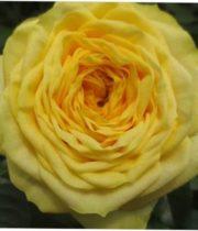 Rose Garden, Yellow Pompon-CA