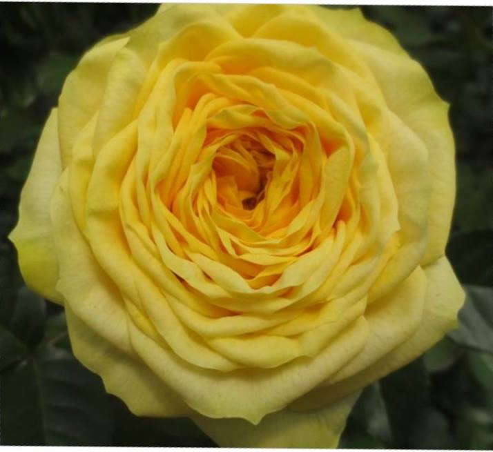 Yellow Pompon Rose