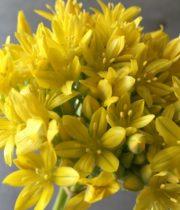 Allium, Spray-yellow