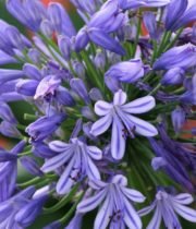 Agapanthus-blue