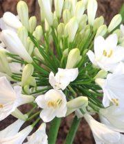 Agapanthus-white