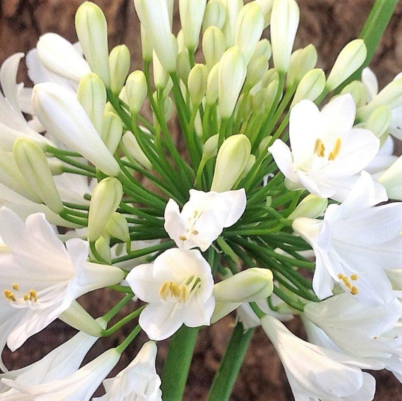 Wholesale agapanthus-white