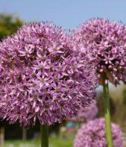 Allium, Gigantum-purple