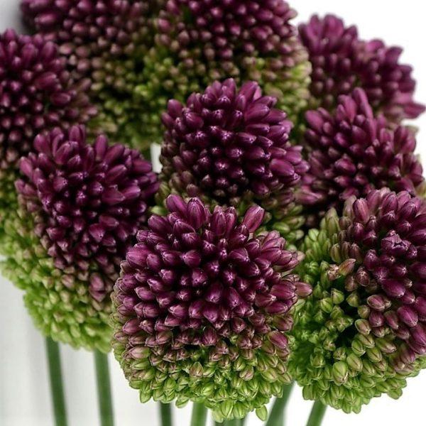 Wholesale flowers allium bullit purple
