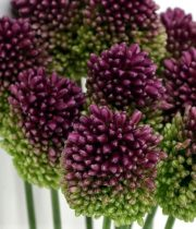 Allium, Bullit-purple
