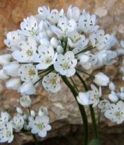Allium, Spray-white