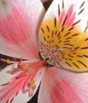 Alstroemeria-peach