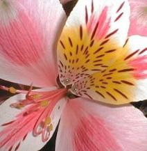 Wholesale alstroemeria peach pink