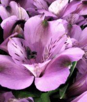 Alstroemeria-lavender