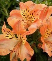 Wholesale Alstroemeria-orange