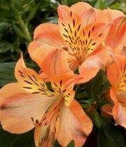 Alstroemeria-orange