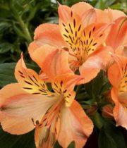 Alstroemeria-orange