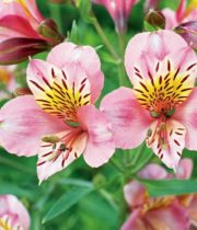 Alstroemeria-light Pink