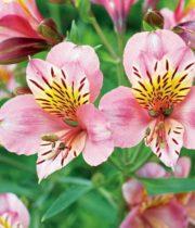 Alstroemeria-light Pink