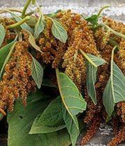 Amaranthus, Hanging-bronze