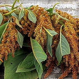 Wholesale amaranthus-hanging-bronze