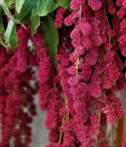 Amaranthus, Hanging-red