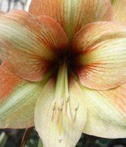 Amaryllis, Mocca-beige