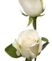 White Amelia 50cm Roses, SA