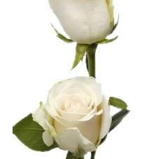 wholesale flowers | rose amelia