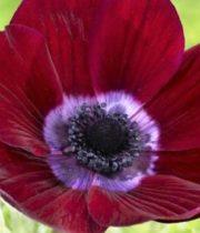 Anemones-burgundy