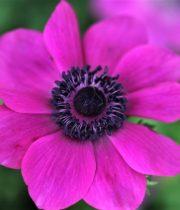 Anemones-hot Pink