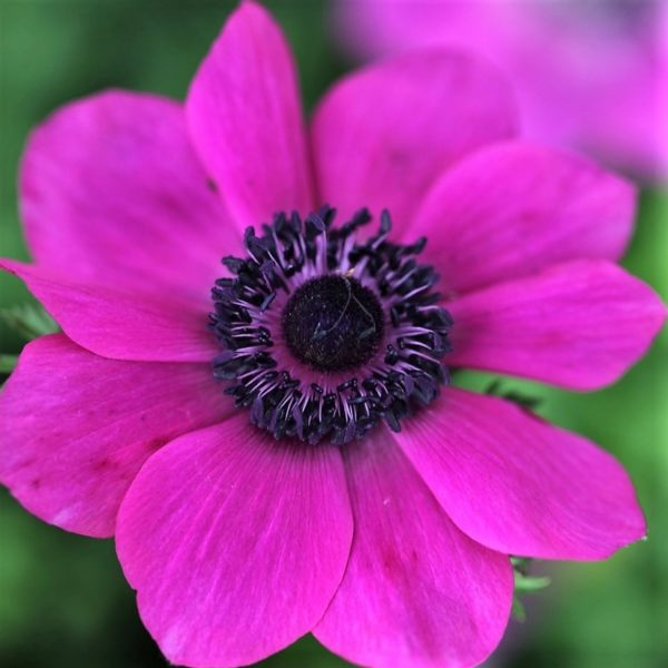 wholesale anemone-hot-pink