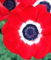 Anemones-red