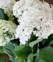 Hydrangea, Annabelle-mini White