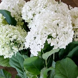 wholesale hydrangea-mini white